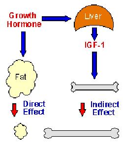 Somatomedina – IGF-1 E Bodybuilding